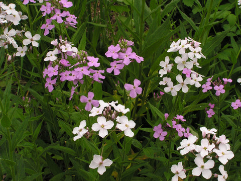 Hesperis matronalis, Sweet Rocket - Mix Purple & White, untreated