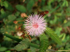 Mimosa Pudica, sensitive form