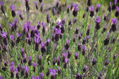 "Photo ""Lavandula pedunculata sampaiana"" by Xemenendura - Own work. Licensed under CC BY-SA 3.0 via Wikimedia Commons."