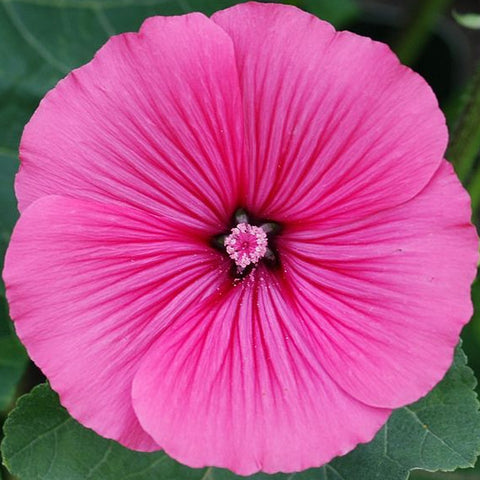 Lavatera Trimestris, rose mallow - Regis Ruby