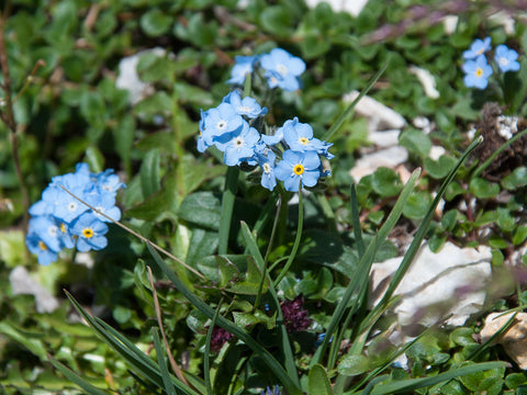 Myosotis alpestris, Alpine Forget-Me-Not