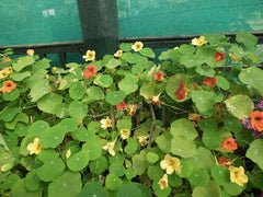 """Nasturtium from lalbagh 2108"" by Rameshng - Own work. Licensed under CC BY-SA 3.0 via Wikimedia Commons."