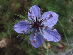 "Photo:""Nigella damascena 1-OB9"" by Jerzy Opioła - Own work. Licensed under Creative Commons Attribution-Share Alike 3.0-2.5-2.0-1.0 via Wikimedia Commons."