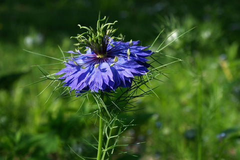 Nigella damascena, Love-in-a-Mist - Miss Jeckyll, dark blue