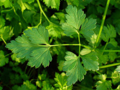 Petroselinum Crispum, Plain Leaved Parsley, Organic