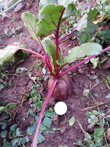Beta Vulgaris craca, Beetroot - Bona, untreated
