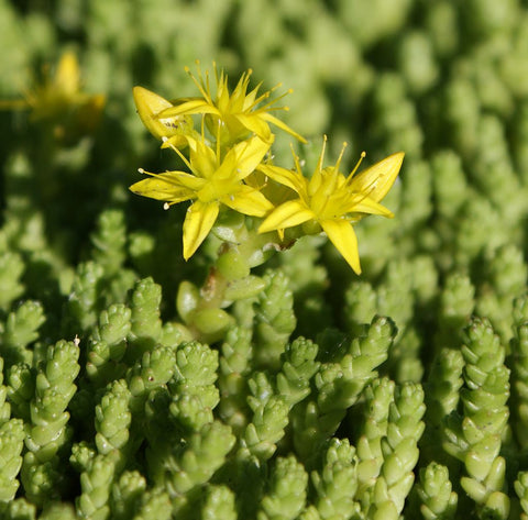 Sedum acre, Common Stonecrop