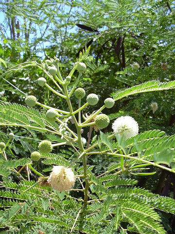 Leucaena Leucocephala, White Leadtree, Jumbay, Popinac, Miracle Tree
