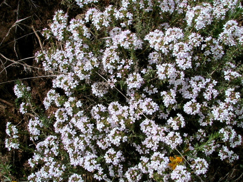 Thymus vulgaris, Thyme - English Winter