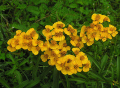 "Photo ""Tagetes lucida, the Sweetscented Marigold (9468459349)"" by Dick Culbert from Gibsons, B.C., Canada - Tagetes lucida, the Sweetscented Marigold. Licensed under CC BY 2.0 via Wikimedia Commons."