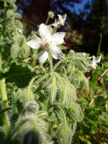 Borago Officinalis alba, Borage - White