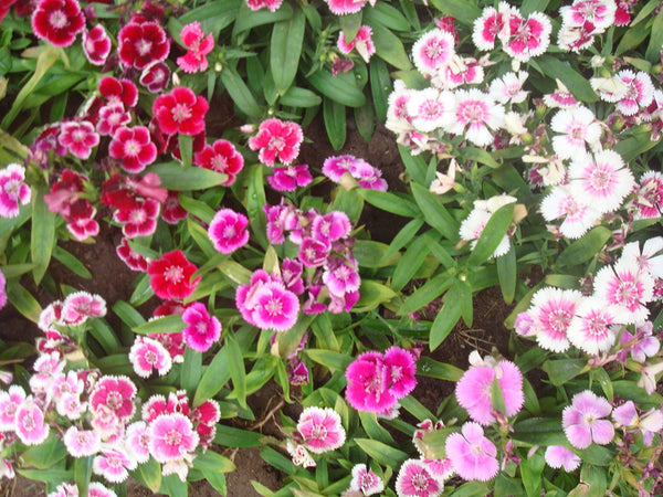 Dianthus Plumarius, Pinks - Spring Beauty Mix | Heirloom ...