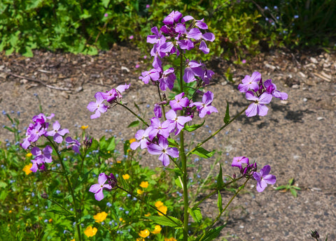 Hesperis matronalis Purpurea, Sweet Rocket - Purple, untreated