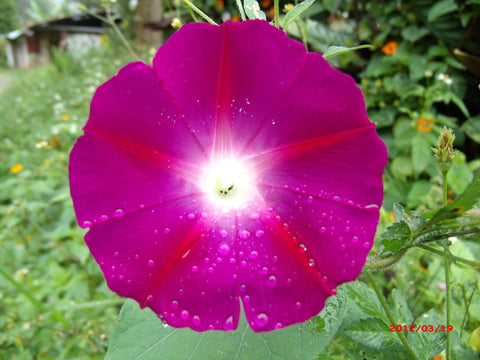Ipomoea tricolor, Morning Glory - Crimson Rambler