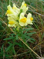 "Photo: """"Linaria vulgaris 2009"" by 4028mdk09 - Own work. Licensed under Creative Commons Attribution-Share Alike 3.0 via Wikimedia Commons."