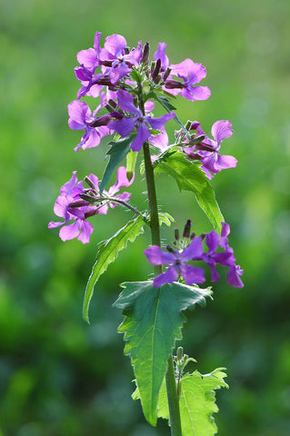 Lunaria annua (biennis), Honesty, Money Plant - Violet