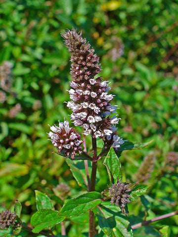 Mentha Piperita x, Peppermint