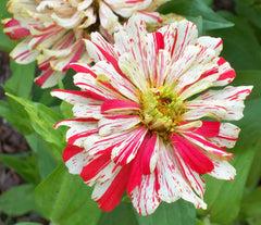 Zinnia Elegans, Candy Stripe Mix