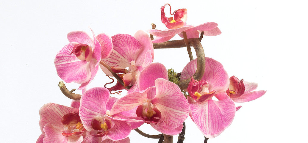 Orchidee Natural Touch
