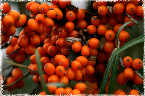 Sea Buckthorn Herb