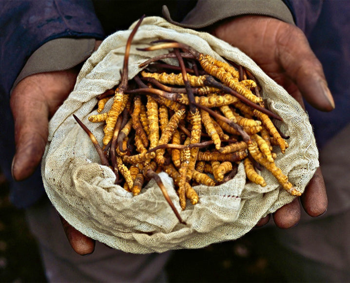 Why Do People Buy Cordyceps Sinensis?