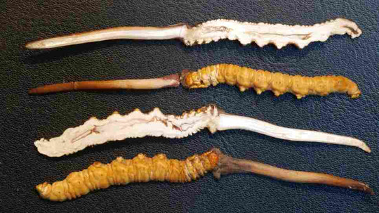 Top 7 Benefits of Cordyceps
