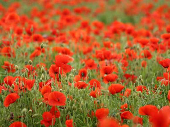 Why Poppies?