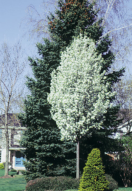 Ornamental Pear - Chanticleer