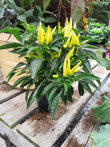 Ornamental Pepper 'Chilly Chill'