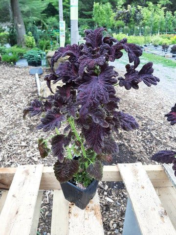 Coleus 'Black Dragon'