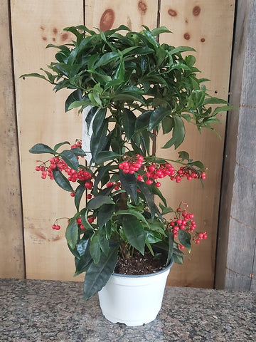 Christmas Berry 'Ardisia'