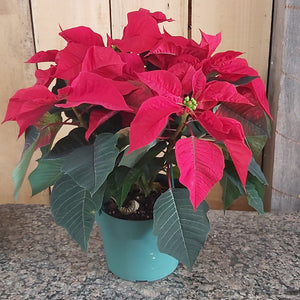"6"" Poinsettia - Red"