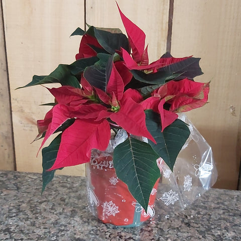"4.5"" Poinsettia - Red"