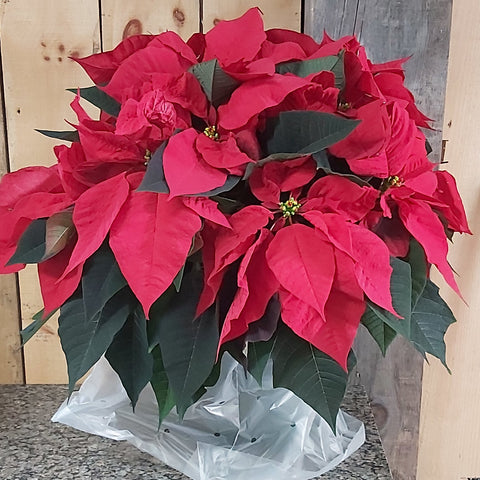 "10"" Poinsettia - Red"