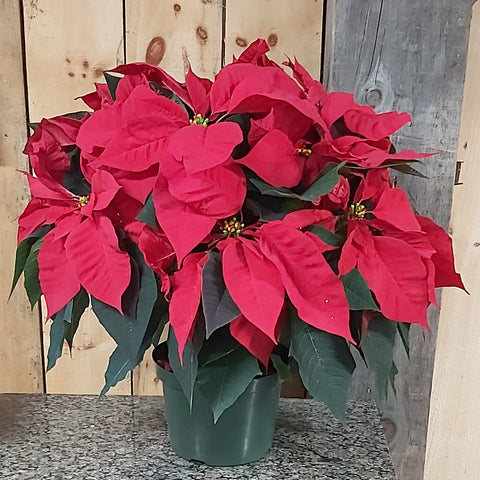 "8"" Poinsettia - Red"