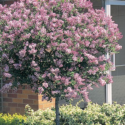 Dwarf Korean Lilac 'Palibiniana' Tree Form