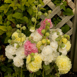 Hollyhock 'Chater's Double'