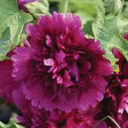 Hollyhock 'Queeny Purple'
