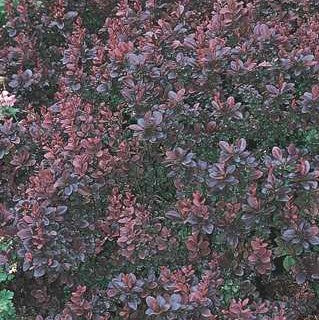 Barberry 'Concorde'