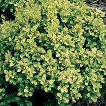 Barberry 'Golden Nugget'