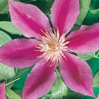 Clematis 'Dr.Rupple'