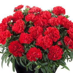 Dwarf Hardy Carnation 'Sunflor Red Bull'