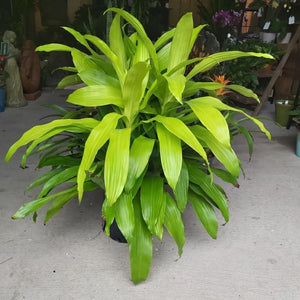 Dracaena 'Janet Craig Lime Light'