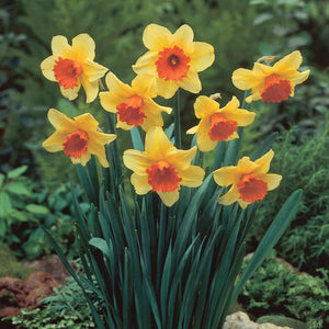 Daffodil - Large Cupped