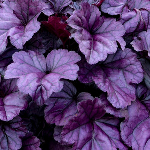 Heuchera 'Wildberry'