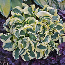 Mini Hosta 'Mini Skirt'
