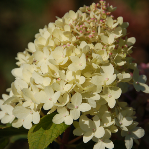 Hydrangea 'Limelight' -Tree Form