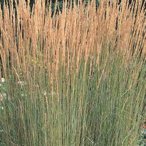 Feather Reed Grass 'Karl Forester'