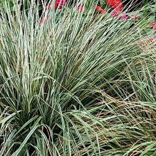 Variegated Feather Reed Grass 'Overdam'