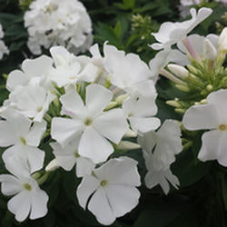 Phlox 'Early White'